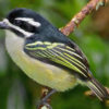 A Yellow-rumped Tinkerbird perched
