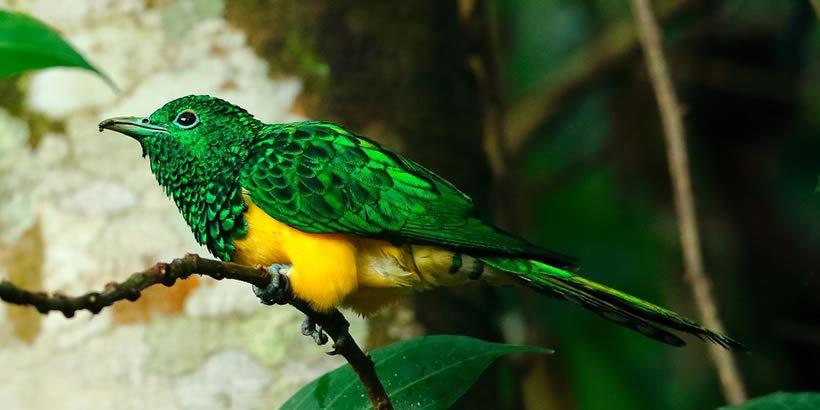 African Emerald Cuckoos