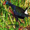 African Purple Swamphen trips