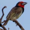 Barbets Tinkerbirds