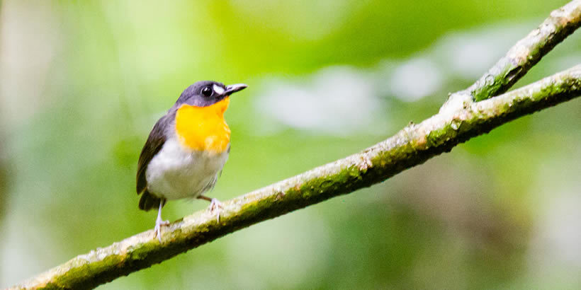 Forest Robin