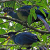 Great_blue_turaco_(Corythaeola_cristata)