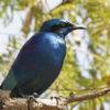 Lesser Blue Eared Starling