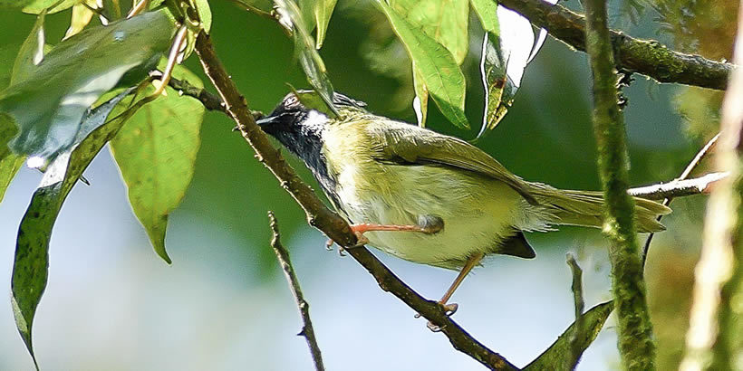 Mountain Masked Apalis