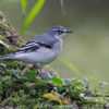 Mountain Wagtail
