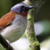 Red-throated Alethe
