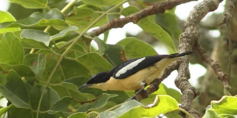 Yellow-bellied Hyliota – Hyliota flavigaster