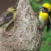 weaver Birds uganda