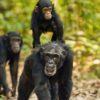 Congo Gorilla Trekking Safaris & Tours (15)