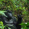 double gorilla Tracking, Adventure tour