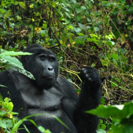 double gorilla Tracking, Adventure tour