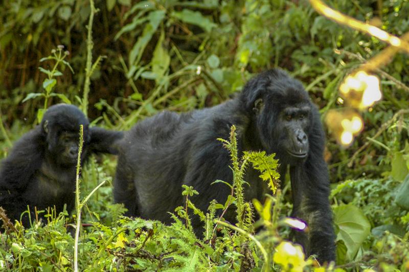 Gorilla Tracking, Uganda gorilla tour