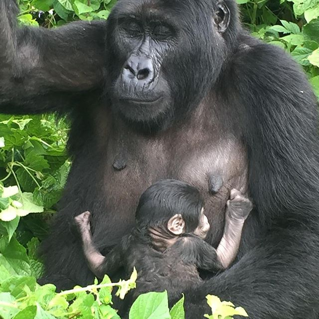 gorilla with a baby