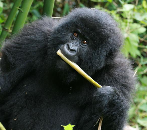 gorilla with tree
