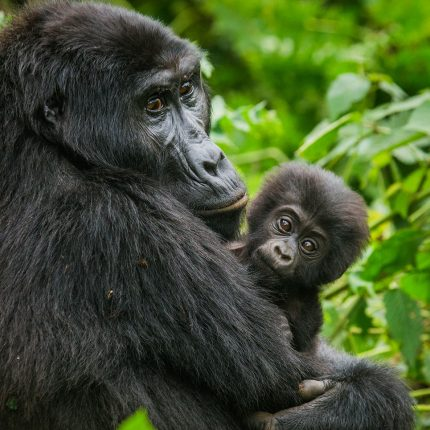 Gorilla Tracking From Kigali