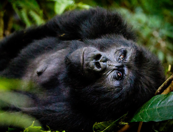 Mountain gorillas, Cultural trip, primates