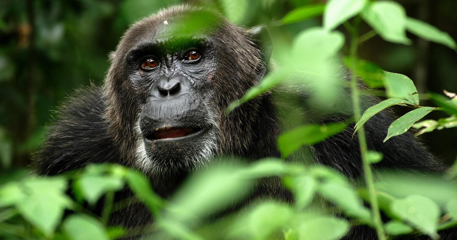 Age Limit for gorilla tracking