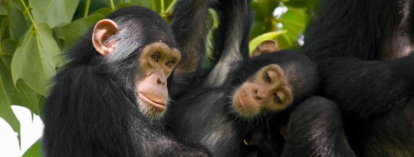 Chimpanzee habituation in Bwindi