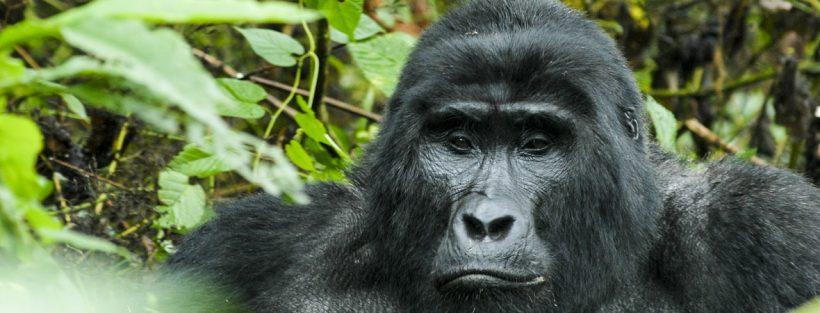 Gorilla Nshongi