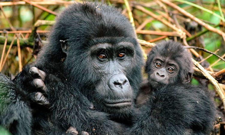Gorilla trekking In Nkuringo Sector-Bwindi