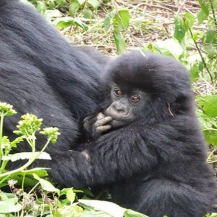 African Gorilla Tour