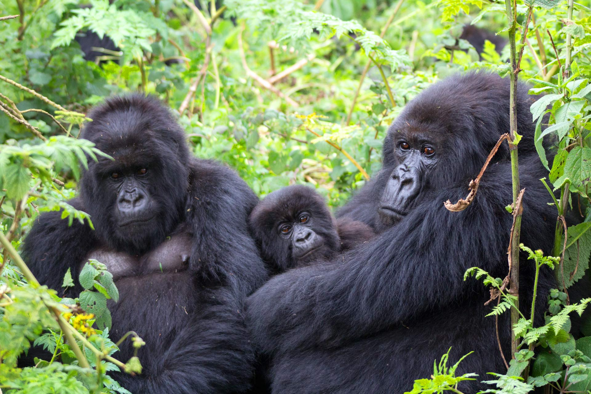 Rushaga the best section for gorilla safaris in Bwindi