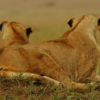 zanzi-climbing-lions.jpg