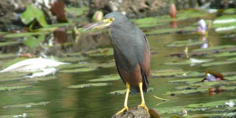 Ruffaus Bellied Heron African Birding trips