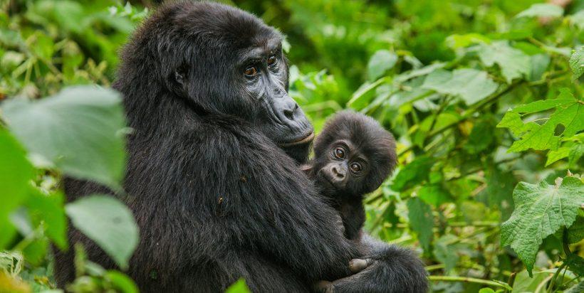 Gorilla Tracking From Kigali