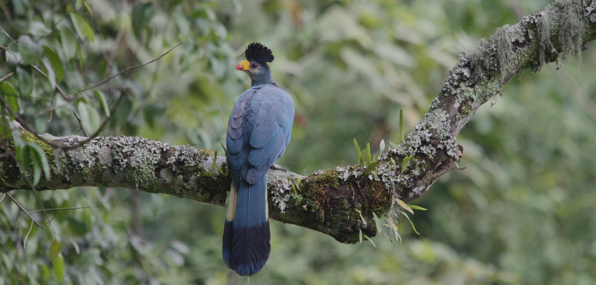 bird watching in Bwindi Uganda,Birding trips in Bwindi forest