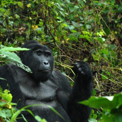 Uganda gorilla safari, Uganda Gorilla Safaris and Trekking Adventure