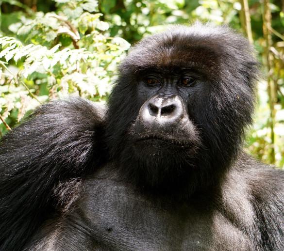 gorilla tracki