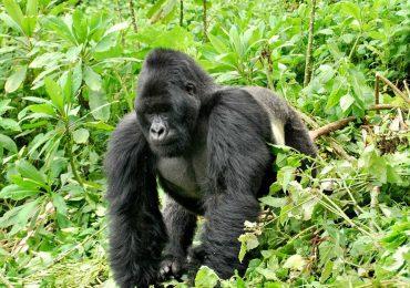 Uganda gorilla trekking: Gorilla Tours and Safaris in Bwindi impenetrable National Park Uganda and Mgahinga gorilla national park